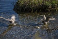 Luta das gaivota de miado (canus do larus) Imagem de Stock