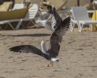Luta das gaivotas foto de stock