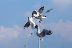 Luta das gaivotas fotografia de stock