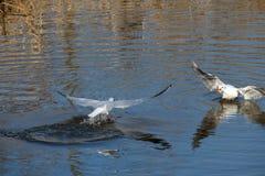 Luta das gaivotas Imagens de Stock
