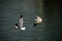 Luta das gaivotas para o alimento Fotografia de Stock Royalty Free