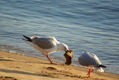Luta das gaivotas sobre o alimento Fotografia de Stock