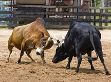 Luta de Bull fotografia de stock royalty free