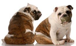 Luta de cão Foto de Stock Royalty Free