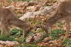 Luta de Deers imagem de stock