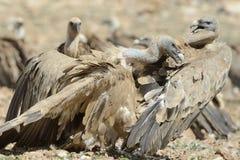 Luta de dois abutres de griffon Imagem de Stock Royalty Free