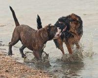 Luta de dois cachorrinhos duramente Imagem de Stock Royalty Free