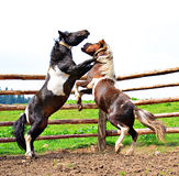 Luta de dois cavalos Fotografia de Stock Royalty Free