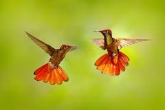 Luta de dois colibris Ruby-Topaz Hummingbird vermelho e amarelo, mosquitus de Chrysolampis, voando com asas abertas, olhar fronta foto de stock royalty free