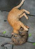Luta de dois gatos Imagens de Stock