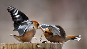 Luta de dois Hawfinch no alimentador fotos de stock royalty free
