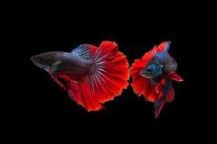 Luta de dois peixes isolados no fundo preto fotografia de stock royalty free