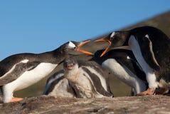 Luta de dois pinguins Fotografia de Stock Royalty Free
