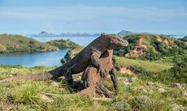 A luta de dragões de Komodo imagens de stock royalty free