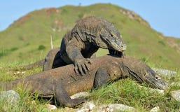 A luta de dragões de Komodo fotografia de stock