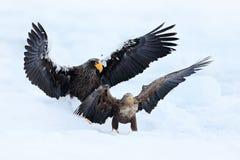 Luta de Eagle na neve branca Cena do comportamento da ação dos animais selvagens da natureza Voo de Eagle com peixes Águia de mar fotografia de stock royalty free