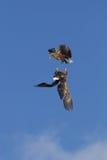 Luta de Eagles no ar meados de Imagem de Stock
