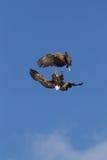 Luta de Eagles no ar meados de Imagens de Stock Royalty Free