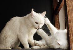 Luta de gato imagens de stock royalty free