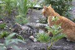 A luta de gatos Fotos de Stock Royalty Free