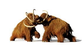 Luta de touros do mammoth felpudo, mamíferos pré-históricos da idade do gelo isolados com sombra no fundo branco imagem de stock royalty free