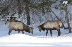 Luta de touros dos alces na neve Fotografia de Stock
