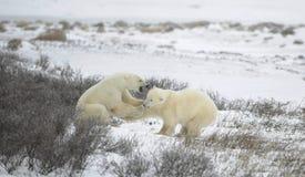 Luta de ursos polares. 1 imagem de stock