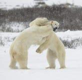 Luta de ursos polares. 1 fotografia de stock