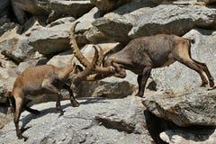 Luta do íbex na área de montanha rochosa foto de stock