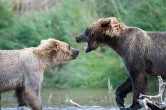 Luta do Alasca de dois ursos marrons Fotografia de Stock Royalty Free