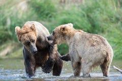 Luta do Alasca de dois ursos marrons Imagens de Stock Royalty Free