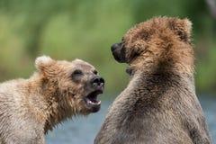 Luta do Alasca de dois ursos marrons imagem de stock
