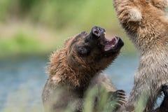 Luta do Alasca de dois ursos marrons fotos de stock
