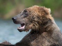 Luta do Alasca de dois ursos marrons foto de stock royalty free