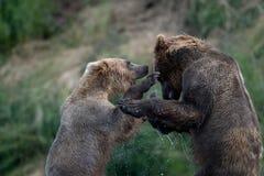 Luta do Alasca de dois ursos marrons fotografia de stock