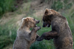 Luta do Alasca de dois ursos marrons foto de stock