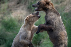 Luta do Alasca de dois ursos marrons fotos de stock royalty free