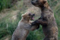 Luta do Alasca de dois ursos marrons imagens de stock