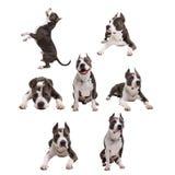 a luta do cão produz - terrier de pitbull americano - em um fundo branco no estúdio isolado collage fotografia de stock royalty free