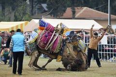 Luta do camelo fotografia de stock