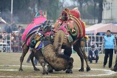 Luta do camelo fotografia de stock royalty free