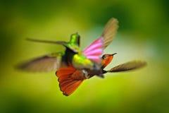 Luta do colibri Ruby-Topaz Hummingbird vermelho e amarelo, mosquitus de Chrysolampis, voando com asas abertas, olhar frontal com  imagens de stock royalty free