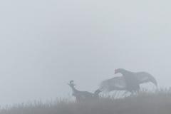 Luta do galo silvestre preto Fotografia de Stock Royalty Free
