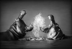 Luta do hipopótamo imagem de stock