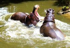 Luta do hipopótamo fotografia de stock royalty free