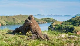 A luta do komodoensis do Varanus dos dragões de Komodo para a dominação fotos de stock royalty free