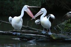 Luta do pelicano Imagens de Stock Royalty Free
