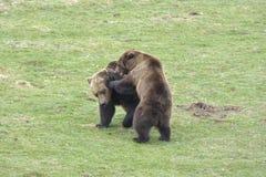 Luta do urso de Brown imagem de stock royalty free