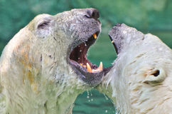 Luta do urso polar Fotografia de Stock Royalty Free