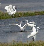 luta dos egrets fotografia de stock